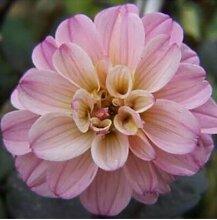 100 Partikel / bag Dahlia Seeds - Pompon ~ Schöne Gärten, herrliche Blume, 15 Farbmisch Samen, Hausgarten 2