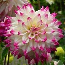 100 Partikel / bag Dahlia Seeds - Pompon ~ Schöne Gärten, herrliche Blume, 15 Farbmisch Samen, Hausgarten 11