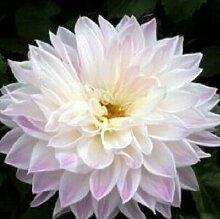 100 Partikel / bag Dahlia Seeds - Pompon ~ Schöne Gärten, herrliche Blume, 15 Farbmisch Samen, Hausgarten
