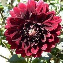 100 Partikel / bag Dahlia Seeds - Pompon ~ Schöne Gärten, herrliche Blume, 15 Farbmisch Samen, Hausgarten 5