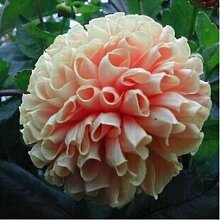 100 Partikel / bag Dahlia Seeds - Pompon ~ Schöne Gärten, herrliche Blume, 15 Farbmisch Samen, Hausgarten 1