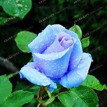 100 Partikel Rare Blau Rosa chinensis Schöne