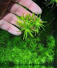 100 PC / bag Aquarienpflanzen Samen Gras Wasser