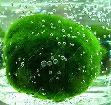 100 PC / bag Aquarienpflanzen Samen Gras Wasser Wasserpflanze Samen Innen-Zierpflanze Grassamen für Hausgarten 15