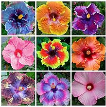 100 PC/bag Hibiskus Blumensamen, Riesen-Bonsai