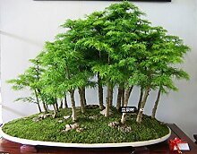 100 PC / bag Juniper Bonsai-Baum-Samen Topf