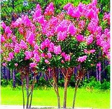 100 PC / bag Kreppmyrte - Lagerstroemia indica 'Natchez' Staude Blumensamen Hof Myrte Blumen Pflanze Hausgarten Topf 4