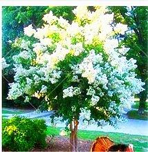 100 PC / bag Kreppmyrte - Lagerstroemia indica 'Natchez' Staude Blumensamen Hof Myrte Blumen Pflanze Hausgarten Topf 3
