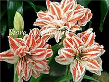 100 PC/Beutel Misch Amaryllis Balkon Garten Lily