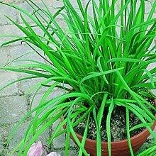 100 PC / Beutel Sterilisation Gemüsesamen Riesen Knoblauch China Grüne Zwiebel Tasty Leek Samen Big Topf Zwiebel Garten Bonsai Pflanze Schwarz