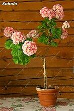 100 PC-Geranium-Baum-Samen Geranium Perennial