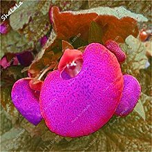 100 PC reizende lustige Blumensamen Calceolaria
