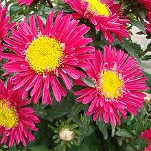 100 PC / Satz Plum Red Callistephus Chinensis Blumensamen Blumensamen Aster-Samen-Garten-Dekoration Bonsai Blumensamen