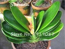 100 Pcs Clivia Seeds Indoor Potted Bonsai Plants