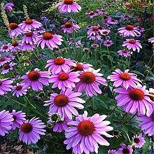 100 PCS Echinacea Sonnenhut Blumensamen für