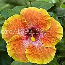 100 PCS Riesen Hibiscus Blumensamen chinesische
