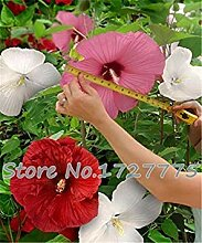 100 Riesen-Hibiskus-Blumensamen Hardy, mischen
