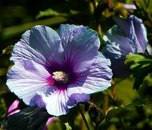 100 Riesen-Hibiskus Samen Blumensamen Hardy,