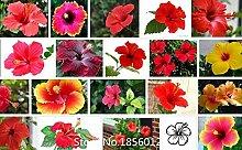100 Riesen-Hibiskus-Samen Blumensamen Hardy, Mix