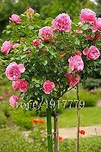 100 Riesen Hibiskus samen Blumensamen Hardy, Mix
