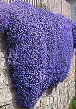 100 / Rock Cress, Aubrieta Cascade Lila Blumensamen, rehsicher Superb ausdauernde Bodendecker, Blumensamen für Hausgarten Viole