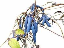 100 Samen -Blaugurkenbaum- Decaisnea fargesii