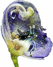 100 Samen Echter Blauer Eisenhut -Aconitum