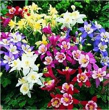 100Samen/Pack, MIX Columbine Akelei Viridiflora