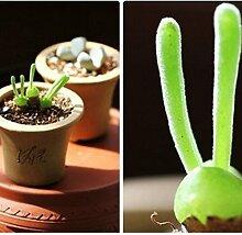 100 Samen Pflanze Hasenform Hausgarten Monilaria