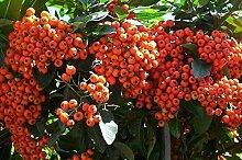 100 Samen: Scharlachrot Firethorn,