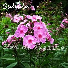 100 Samen/Tasche Seltene Rosa Phlox Samen