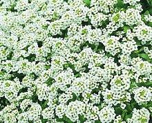 100 Samen von Alyssum Prost Weiß Bodendecker