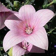 100 Samen von Rose-Ballon-Blumensamen Blumensamen