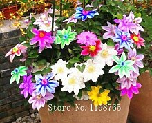 100seltene Colorful Clematis Samen, Klematis Plant Seeds, Klematis Bonsai Clematis Leuchtmittel Draht Lotus Plant Seeds