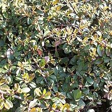 100 Stk. Cotoneaster dammeri 'Eichholz' -