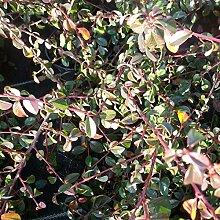 100 Stk. Cotoneaster dammeri 'Jürgl' -