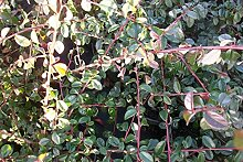100 Stk. Cotoneaster dammeri 'Skogholm' -