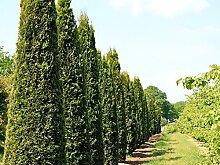 100 Stk. Thuja Lebensbaum Smaragd - Thujahecke