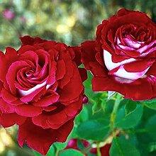 100 Stück/Beutel Rosensamen zweifarbig seltene