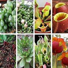 100Stück/Beutel violett Krug Pflanze rote Schlauchpflanze Fleischfressende Blumensamen reinigen die Luft Catch Insekten