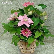 100 Stück Clematis Pflanzensamen Schöne Kletterpflanze Blumensamen Bonsai oder Topf Stauden Blumen Für Hausgarten-Mix Farben 1