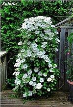 100 Stück Clematis Pflanzensamen Schöne Kletterpflanze Blumensamen Bonsai oder Topf Stauden Blumen Für Hausgarten-Mix Farben 14