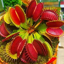 100 Stück Dionaea Muscipula Samen, Fliegenfalle
