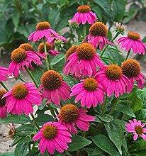 100 Stück Echinacea Samen Helle Farben Schöne