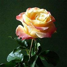 100 Stück Feuer Eis Rose Blumensamen Garten