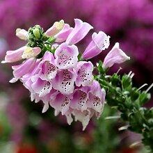 100 Stück Fingerhut Samen Die Im Gartenhof