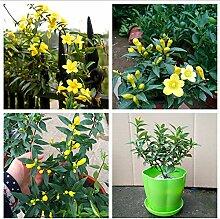 100 Stück Garden Yellow Jasmine Seeds, Leichte