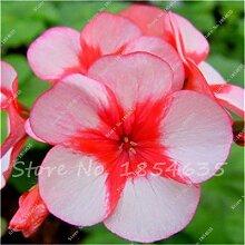 100 Stück Geranium Samen Stauden Geranium Blumen Pflanzen Pelargonium Blumen-Garten-Dekoration Bonsai Samen DIY Topfpflanze 9