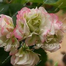 100 Stück Geranium Samen Stauden Geranium Blumen Pflanzen Pelargonium Blumen-Garten-Dekoration Bonsai Samen DIY Topfpflanze 22