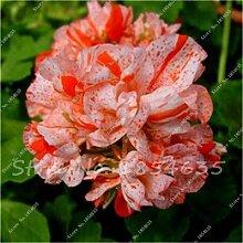 100 Stück Geranium Samen Stauden Geranium Blumen Pflanzen Pelargonium Blumen-Garten-Dekoration Bonsai Samen DIY Topfpflanze 8